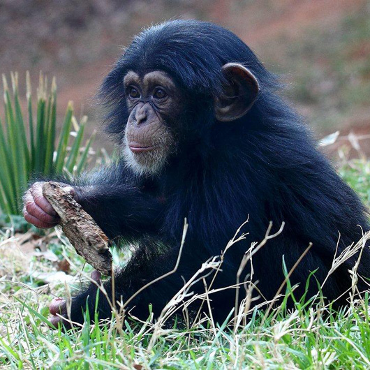 Baby Chimpanzee And Dog Video
