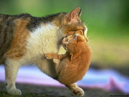 Une Maman chat qui porte son chaton