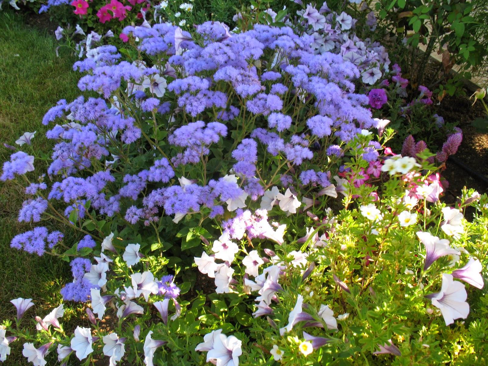 Roses du jardin ch neland fleurs bleues estivales - Fleurs bleues grimpantes ...