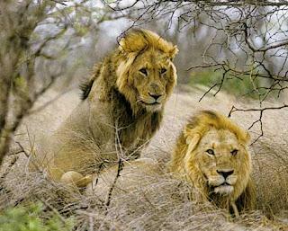gambar singa afrika yang homo-Binatang-Binatang dan hewan Yang Homo di dunia - munsypedia | un1x project