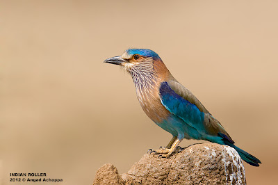 indian roller on mound