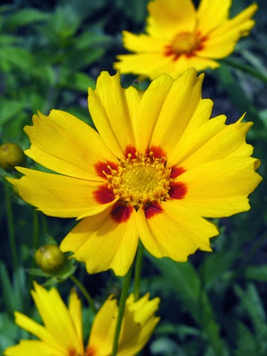http://www.statesymbolsusa.org/Mississippi/StateWildflower-Coreopsis.html