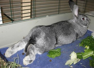 Giant Chinchilla Rabbit Breeds Rabbit: ...