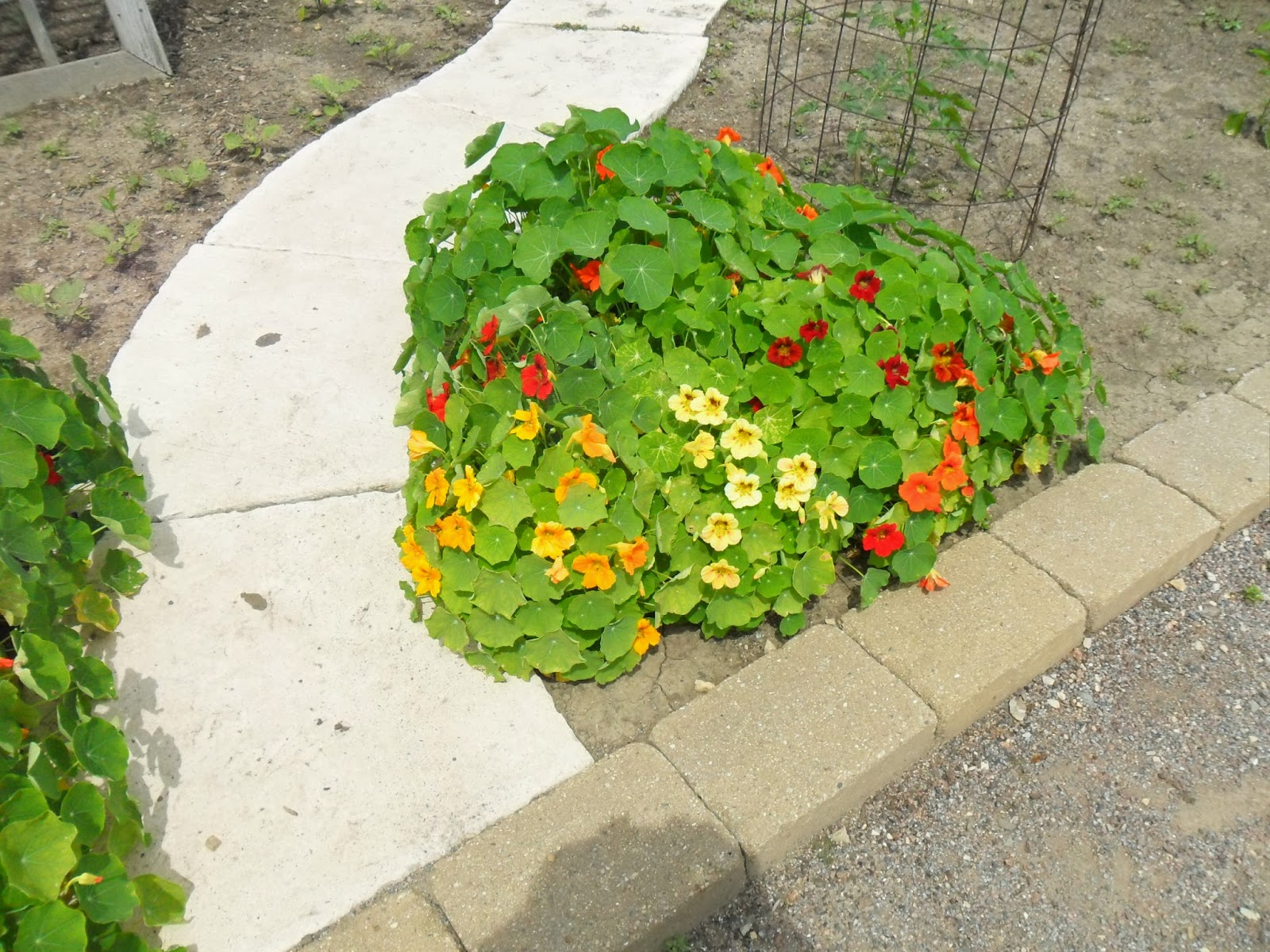 Buy culinary herbs plants nasturtium plants - Curly Parsley Is Not My Favorite Herb To Grow For Culinary Reasons But As An Attractive Plant It Does Win Some Praise Using The Bright Green As A Border