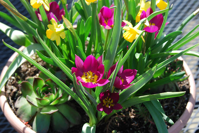 A sunny combination for our patio: Tulip 'Persian Pearl', Narcissus 'Tete-a-tete' and purple-tipped Echeveria