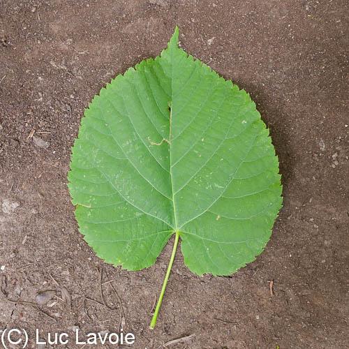 Arbres des parcs nature et bois s de montr al feuille du tilleul d 39 am rique - Tilleul a grandes feuilles ...