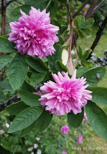 Tornionlaakson ruusu, ruusu, Torndalens rosa, rose
