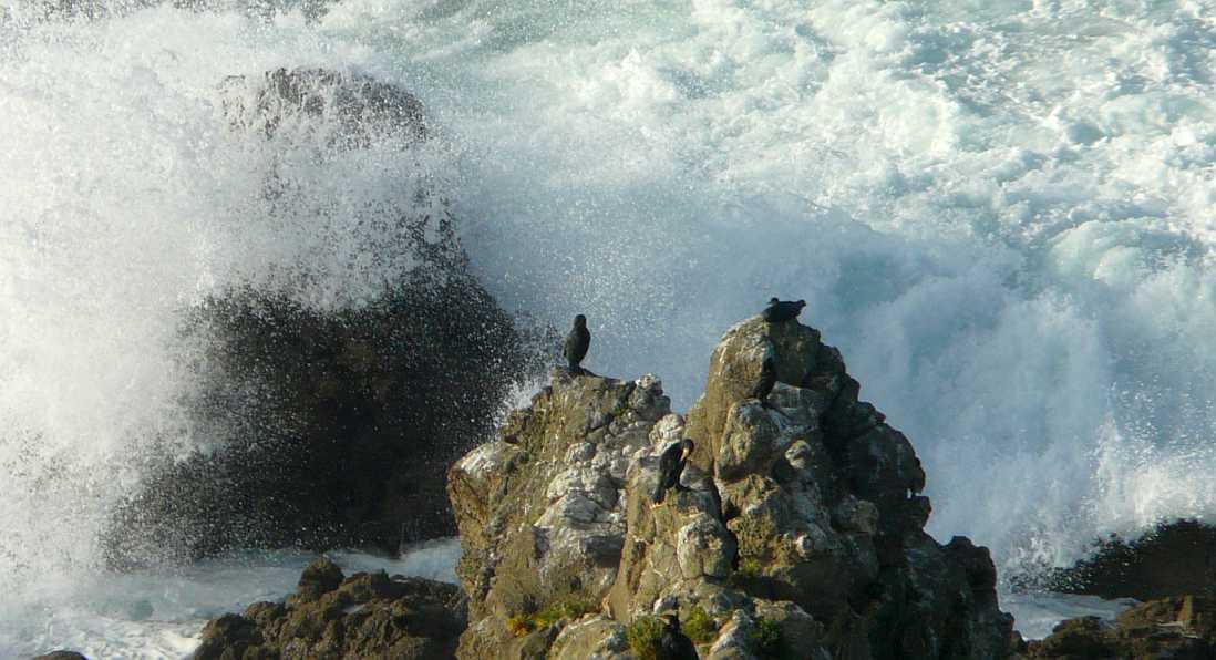 cormoranes monudos