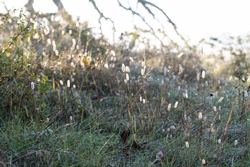 yellow foxtail grass