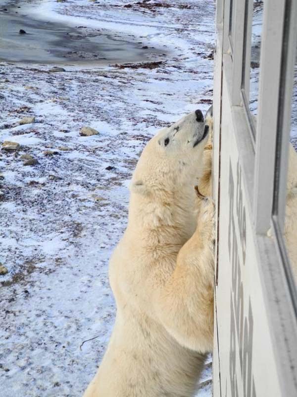 The young bears are also out learning what it is to be a polar bear.. - What Happens In This Remote Town Every October Is Frighteningly Awesome. I Had No Idea.