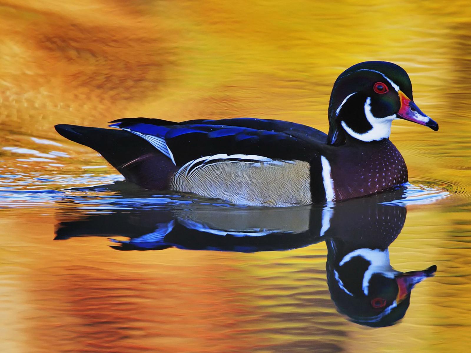 http://1.bp.blogspot.com/-cq6GGStMHok/USdjbU4xssI/AAAAAAAAAOE/hZczyhj4l_8/s1600/1+-+Duck+In+Water+Mirror.jpg