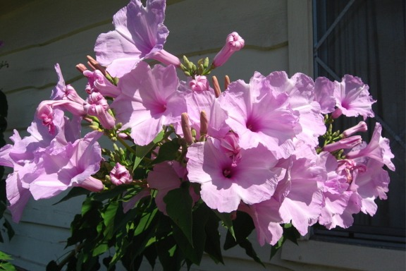 النصائح للزراعة المنزلية محدود pinkMorningGlory5.jpg