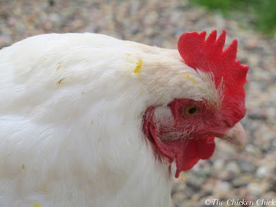 Egg-eating chickens often have yolk on their beaks or feathers.