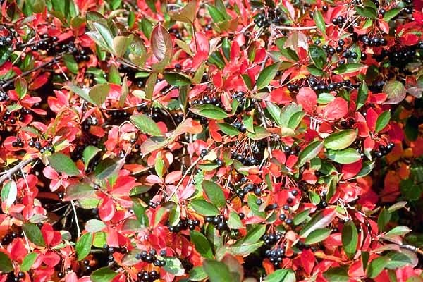 pinelands nursery photinia melanocarpa black chokeberry. Black Bedroom Furniture Sets. Home Design Ideas