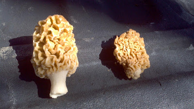 Morel Mushrooms, michigan, sun, shade, grassy field, forest, expensive, dried