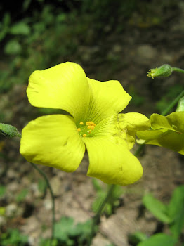 Oxalis pes-caprae (Acetosella gialla)