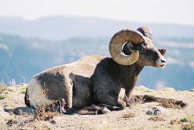 Bighorn Sheep Near Heart Lake in Yellowstone National Park. Wildlife