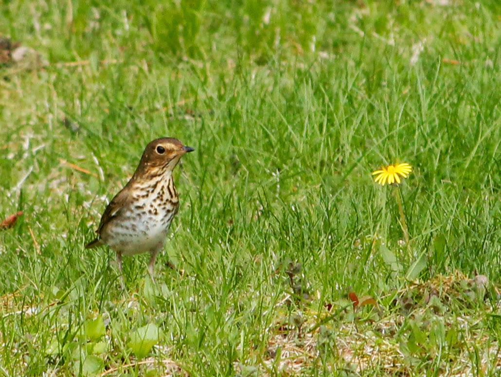 swainson's thrush in yard