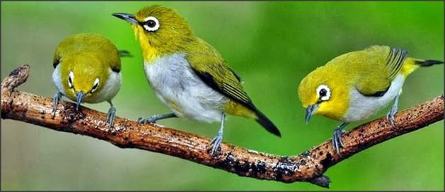 Namun apakah semua pecinta burung tahu trik biar burung pleci anda cepet  gacor  jawabnya belum tentu. 94700fd3d5