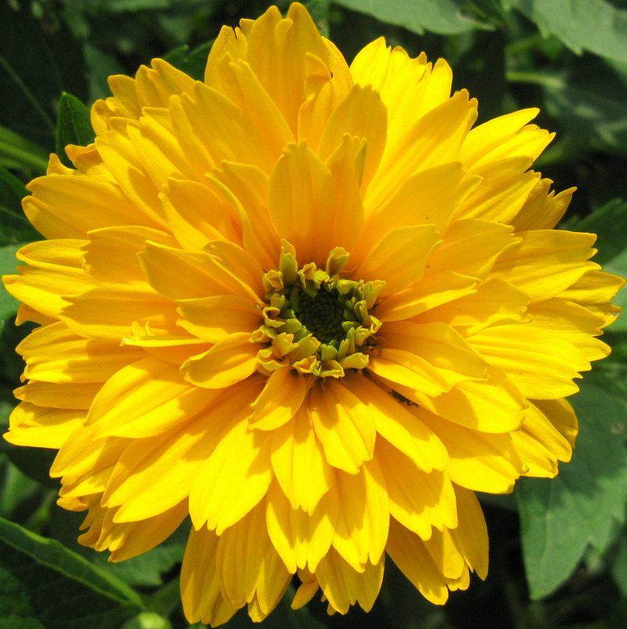 葉黃素的最好來源是金盞花