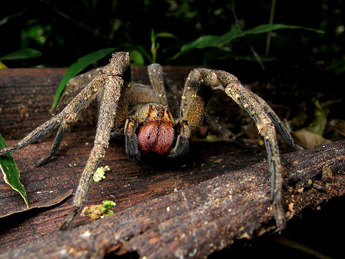 Most poisonous spider in the world