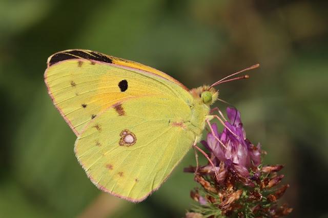 Tierfotos - Schmetterlinge - Postillion - Wander-Gelbling