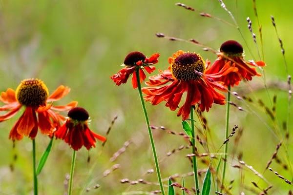 trädgårdssolbrud, morheim beauty