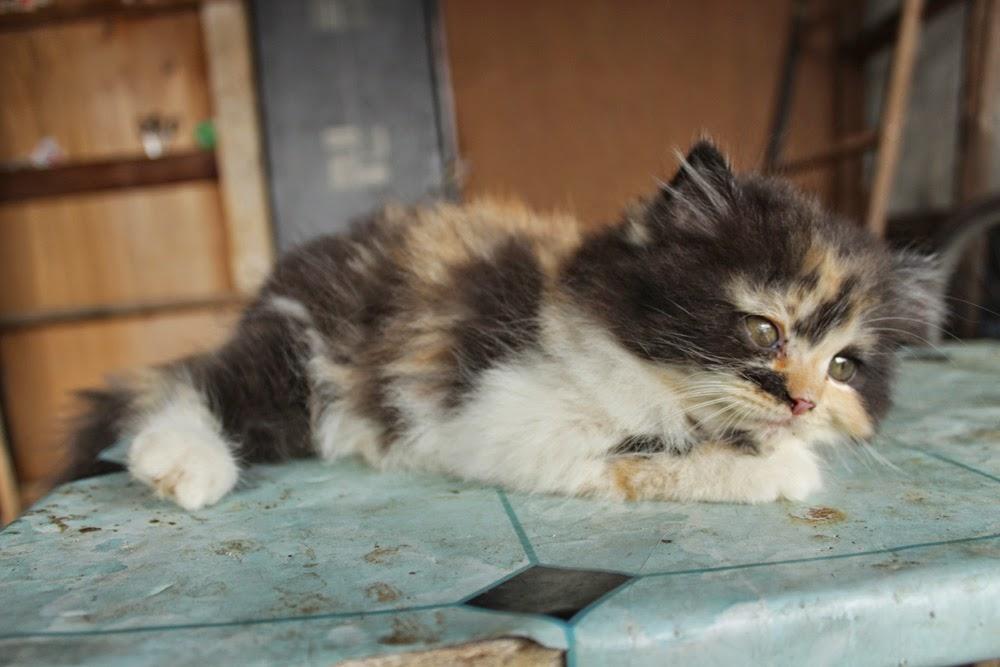 Harga Kucing Persia Flatnose Segitu Petshop