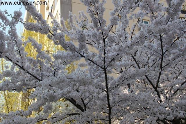 Cerezo florecido en Seúl
