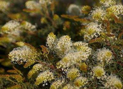 Grevillea teretifolia