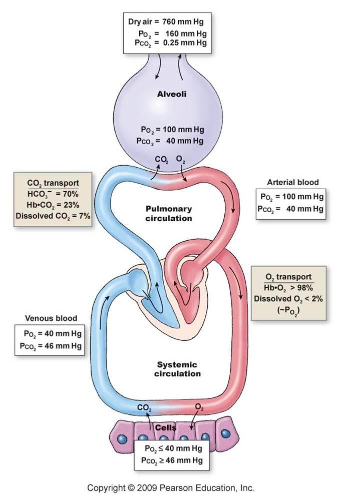 respiritory system essay