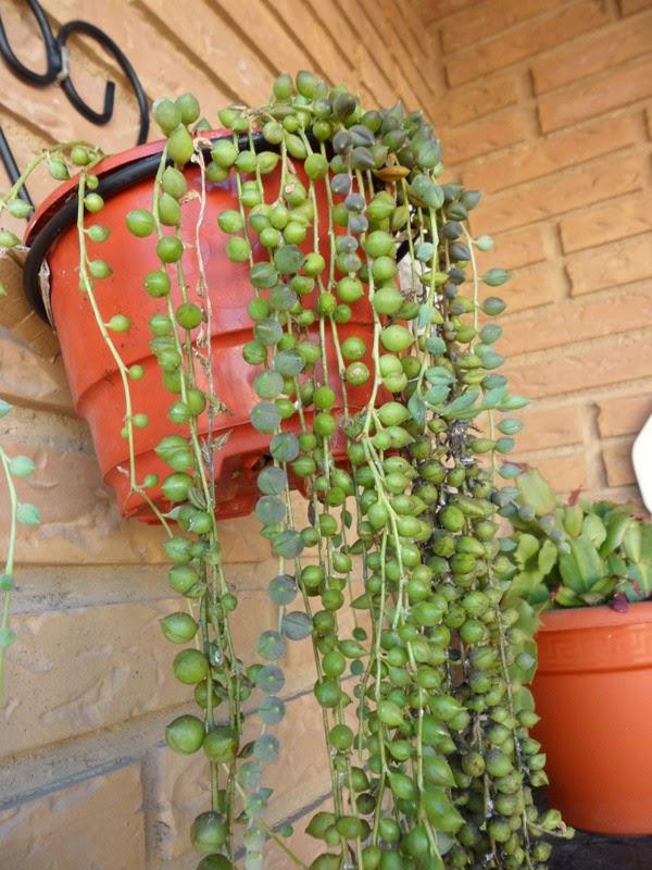 Tipos de plantas y cactus for Tipos de plantas para macetas