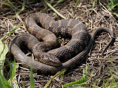 serpiente acuatica del norte Nerodia sipedon