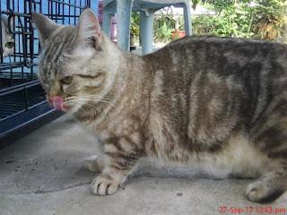 munckin cat