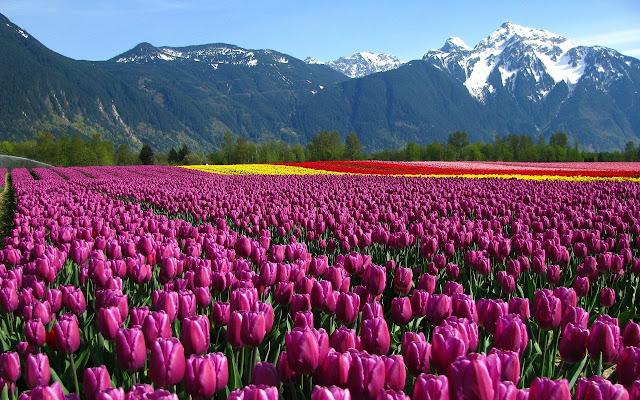 Ảnh đẹp cuộc sống: Bộ hình nền đẹp về cánh đồng hoa Tulip 6