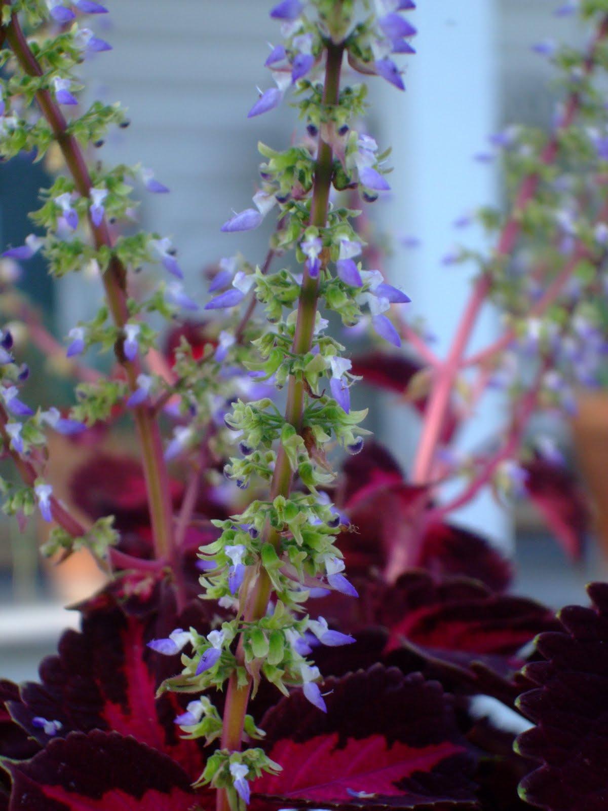 coleus flowers  flower, Beautiful flower