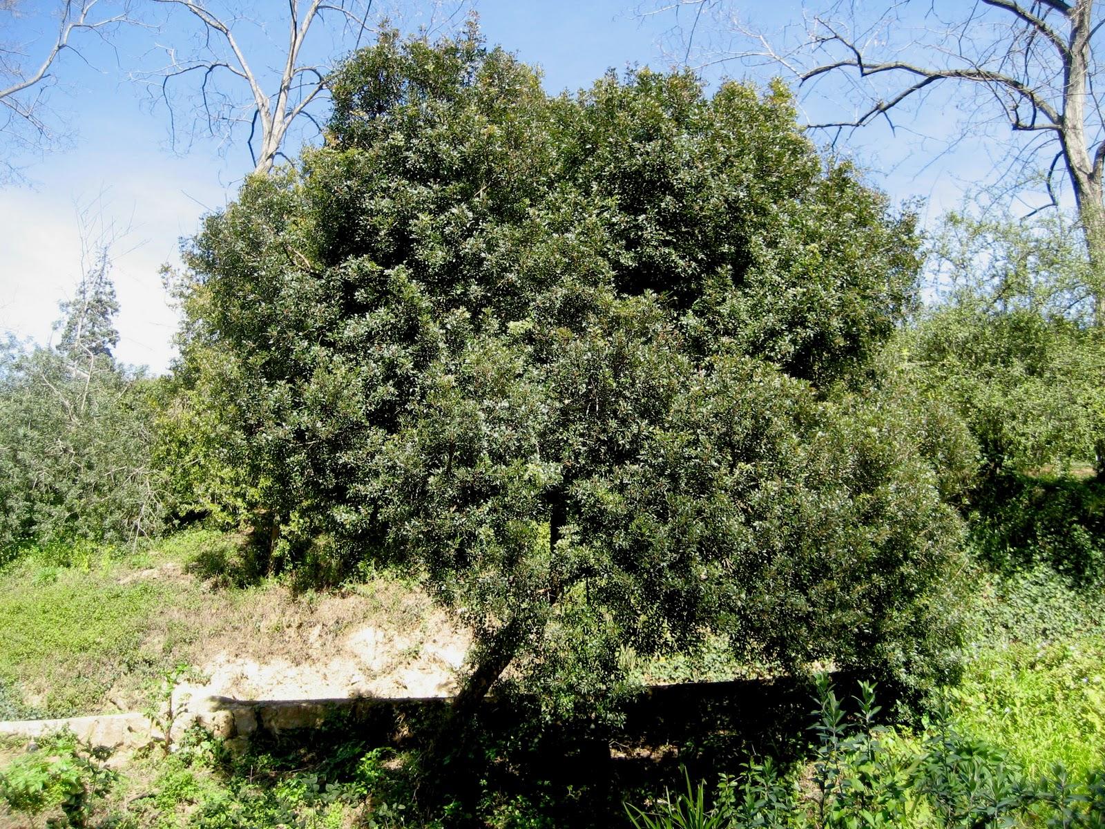 Rboles con alma lentisco llentiscle pistacia lentiscus for Arbol de fotos manual