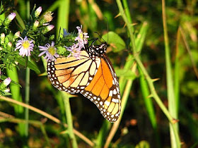 Kupu-kupu Monarch