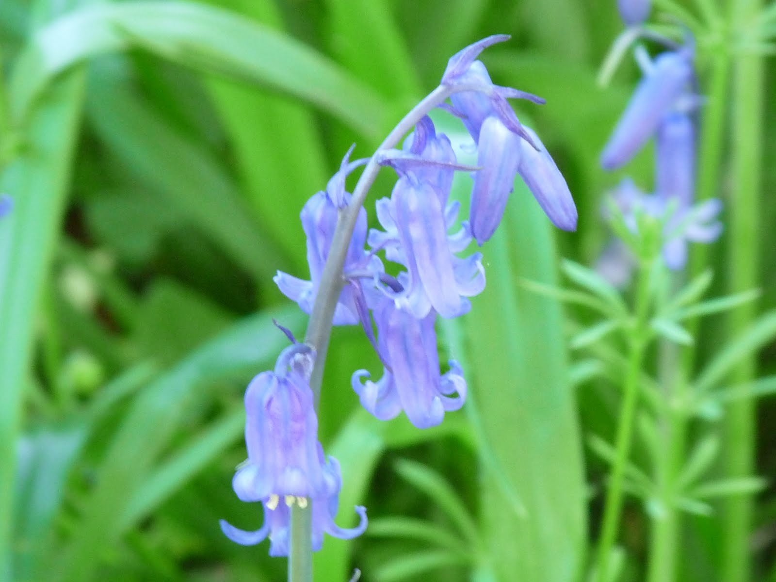 Wild and Wonderful Flora 1 In and out the dusky bluebells