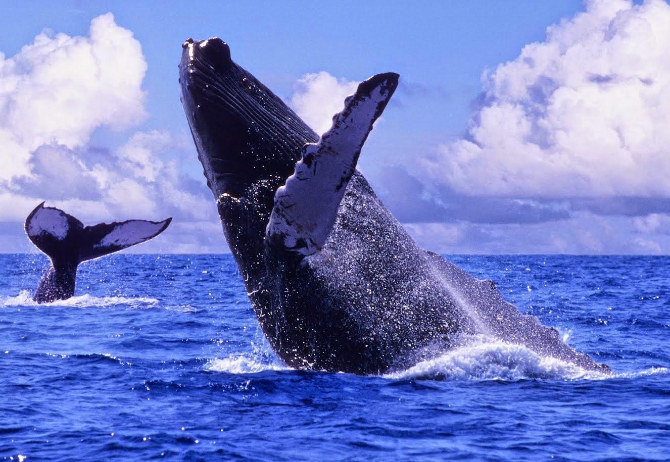 Ballenas grises: misión salvar la Tierra
