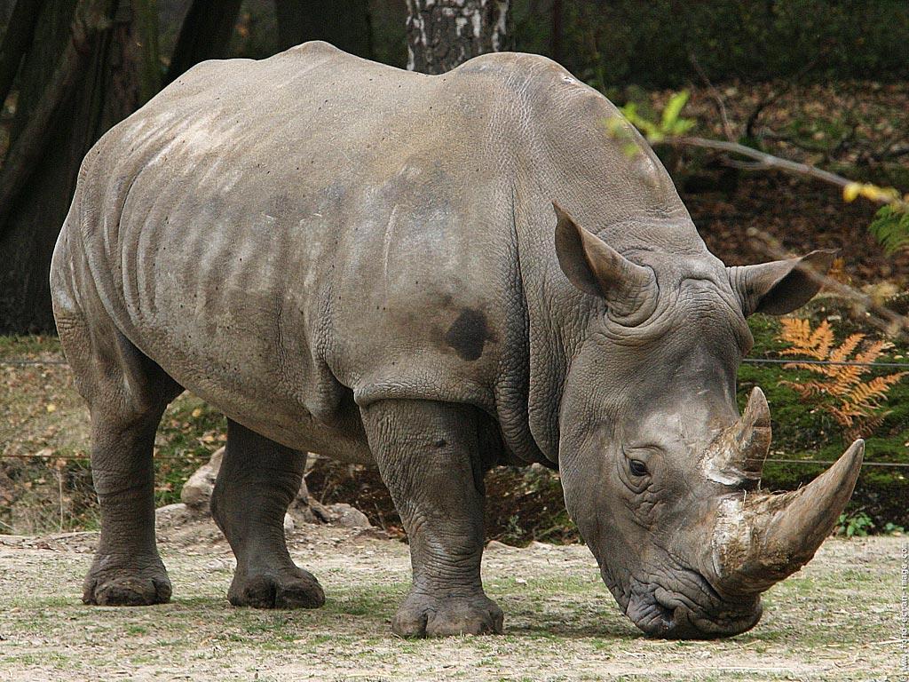 Demand in yemen for rhino horn dagger handles worn as status symbols