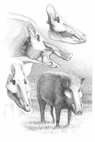 Microstonyx skull