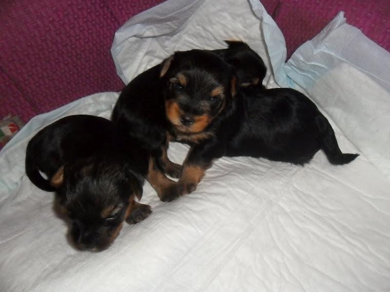 Cuccioli di yorkshire in vendita