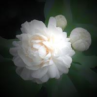 bunga melati, cara menanam melati yang benar