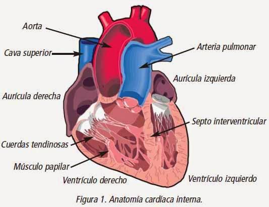 El blog de Fátima: EL APARATO CIRCULATORIO: El corazón