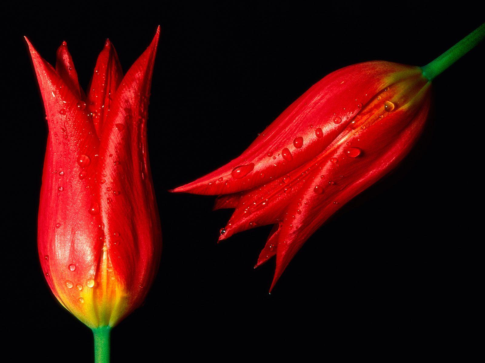 வால்பேப்பர்கள் ( flowers wallpapers ) - Page 4 Red+rose+flowers+wallpapers.jpg+%25284%2529