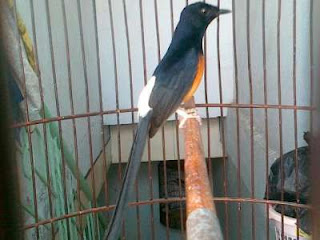 Cara Memilih Bakalan dan Perawatan Burung Murai Batu