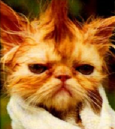 funny picture an ugly cat