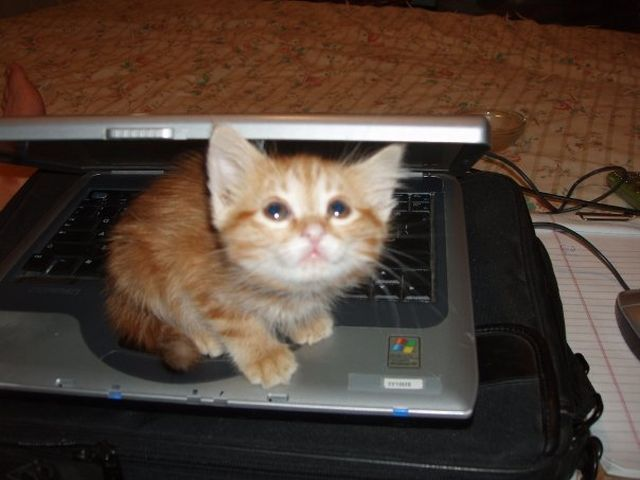 funny cat pictures, kitten on laptop