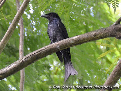 Crow-billed Drongo (Dicrurus annectans)
